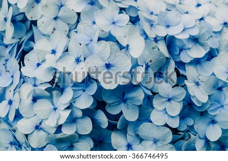 Beautiful vintage hydrangea flowers.