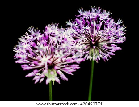 Beautiful violet allium flowers isolated on black background