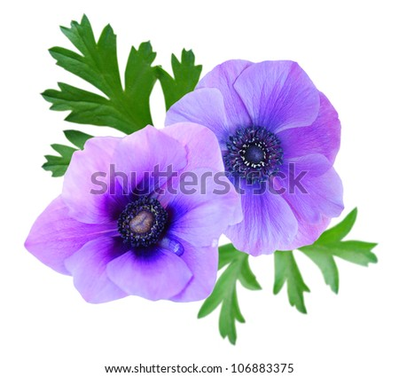 Beautiful violet anemone flower on white background - stock photo