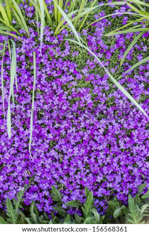 Beautiful violet Aubrieta flower field - stock photo