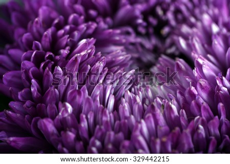Beautiful violet chrysanthemum