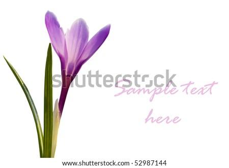 beautiful violet crocus flower closeup on white - stock photo