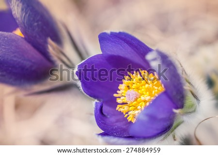 Beautiful violet crocuses in the grass on the mountain. First spring flowers. Macro image with small depth of field - stock photo