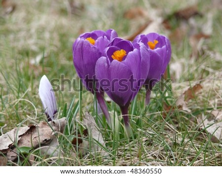 Beautiful violet crocuses in the park
