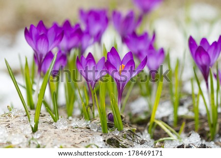 Beautiful violet crocuses in the springtime - stock photo