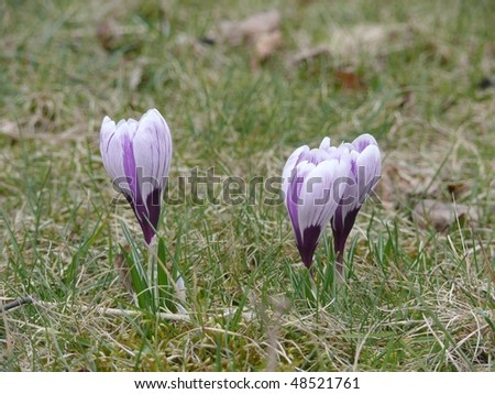 Beautiful violet crucuses in the park
