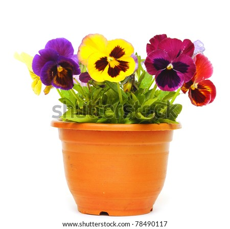 beautiful violet flower in pot isolated on white background - stock photo