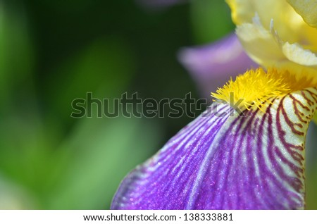 beautiful violet flower - iris blooming in the garden - stock photo