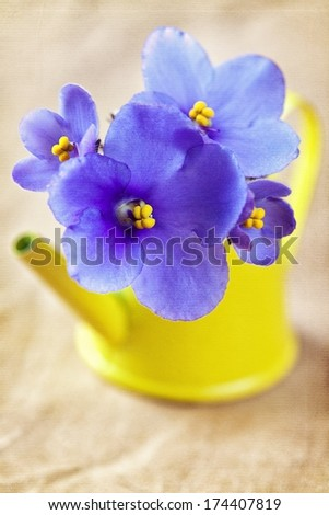 beautiful violet flowers in a yellow pot .(Saintpaulia) - stock photo
