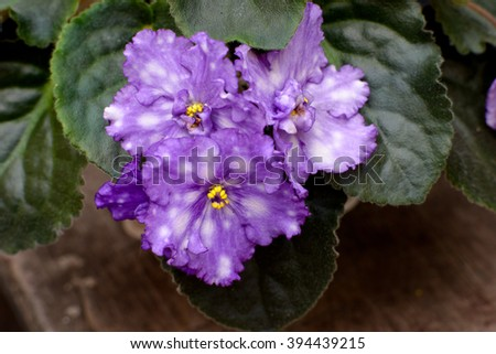 Beautiful violet in a pot on a wooden desk