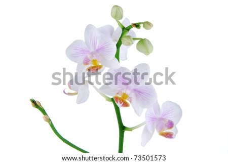 Beautiful violet orchid flower in bloom on a white background - stock photo