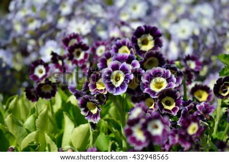 beautiful violet, yellow and purple primula x, pubescens flowers blooming in summer sunshine - stock photo