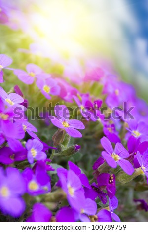 beautiful violets flowers in the garden - stock photo