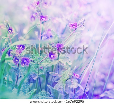 beautiful violets flowers in the garden/ spring flowers - stock photo