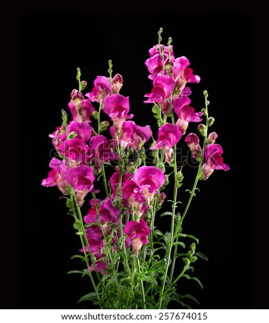 Beautiful vivid deep raspberry Snap dragon (Antirrhunum majus) with green foliage, annual plant family scrophulariaceae, isolated on black backdrop with clipping mask. Close-up viev