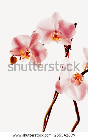 Beautiful vivid marsala red colored velvety orchid flower composition on isolated white background - stock photo