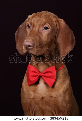 Beautiful Vizsla dog in a red bow tie