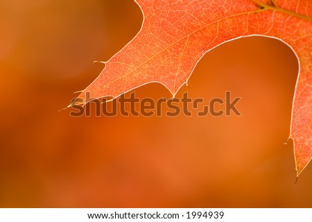 Beautiful, warm hued close-up of an oak leaf changing to Autumn colors. Leaf is glowing and backlit. Folliage in the background gives smooth earthy tone. - stock photo