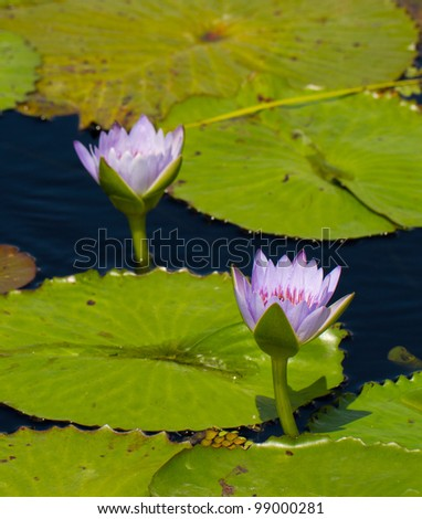 Beautiful water Lilies at botanical gardens in Naples, Florida. - stock photo