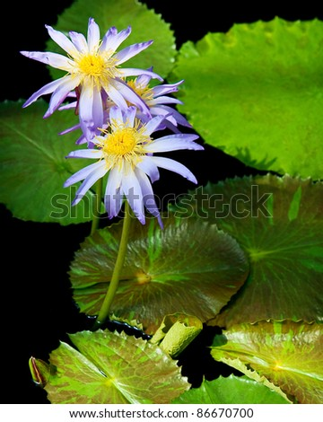 Beautiful water lilies in a pond - stock photo