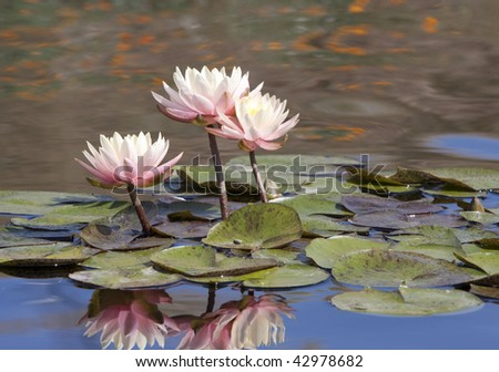 Beautiful Water Lily - stock photo