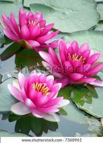 Beautiful water lily - stock photo