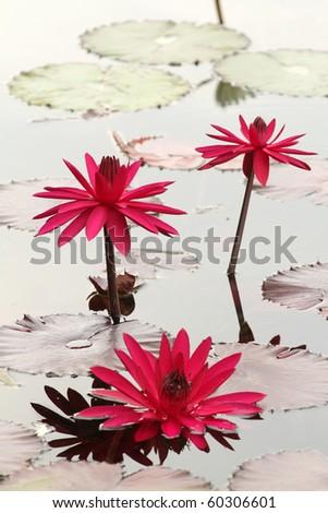Beautiful water lily flower in bloom, aquatic garden, summer - stock photo