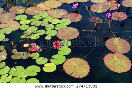 Beautiful water lily in a koi pond - stock photo