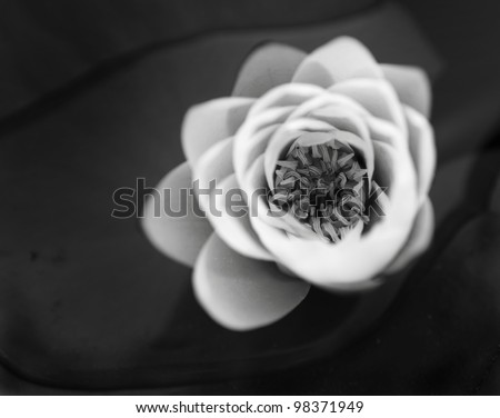 beautiful water lily in pond - stock photo