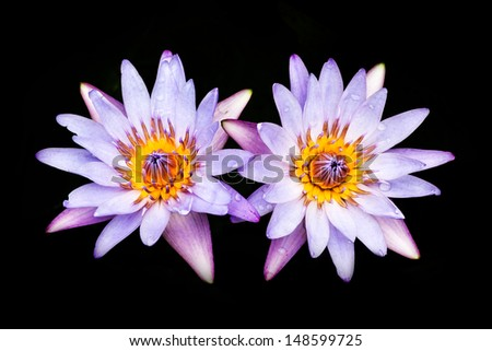 Beautiful water lily isolated on black background