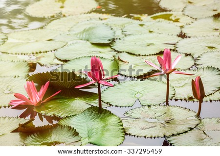 Beautiful waterlily flower in full bloom in the pond