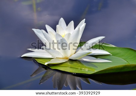 Beautiful waterlily in the lake in a morning mist - stock photo