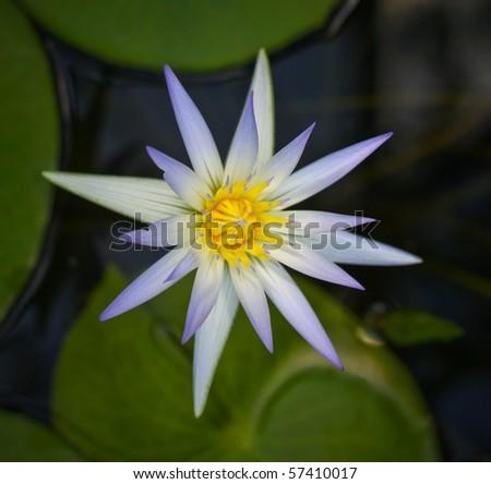 beautiful waterlily in water - stock photo