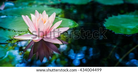 beautiful waterlily or lotus flower in pond - stock photo