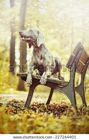 beautiful weimaraner dog hunting in autumn nature - stock photo