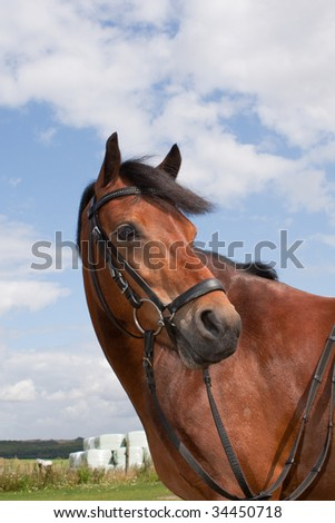 Beautiful Welch pony - stock photo