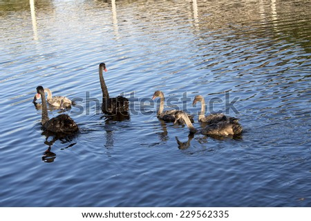 Beautiful West Australian black swan cygnus atratus  parents  with  half grown cygnets swimming in the blue waters of Big Swamp  Bunbury Western Australia on a  fine late afternoon  in late  spring. - stock photo