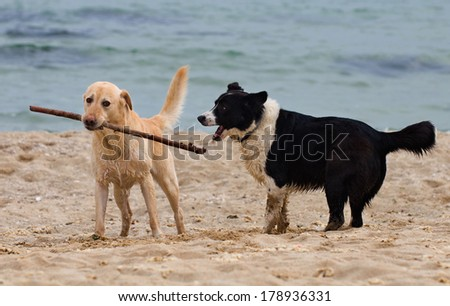 beautiful wet labrador dog playing with a stick on the beach with another dog - stock photo