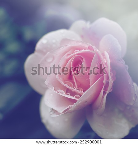 Beautiful wet rose made with color filters - stock photo