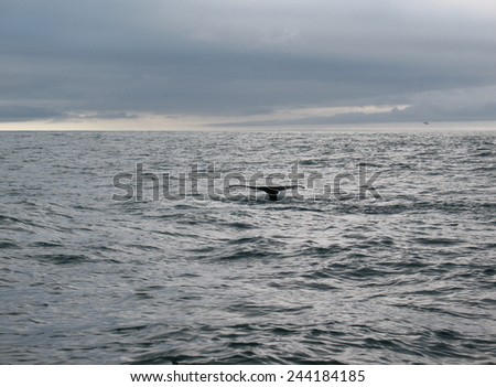 Beautiful whale in the ocean, Iceland - stock photo