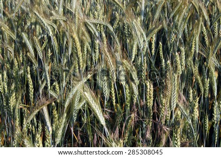 Beautiful wheat field, agricultural meadow, countryside landscape, farming concept