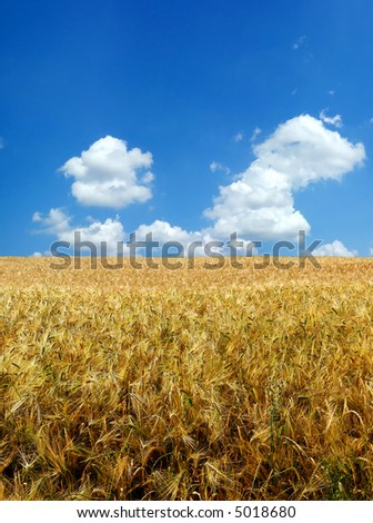 Beautiful wheat field nature background XXL