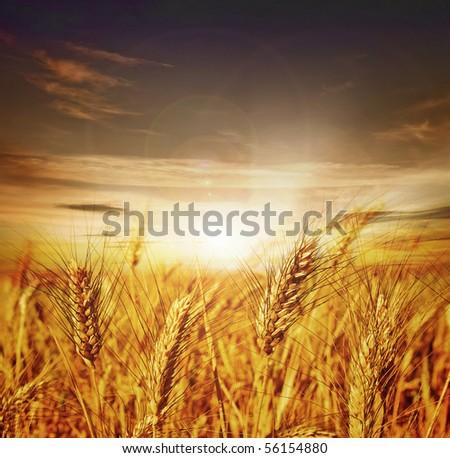 Beautiful Wheat.Sunset - stock photo