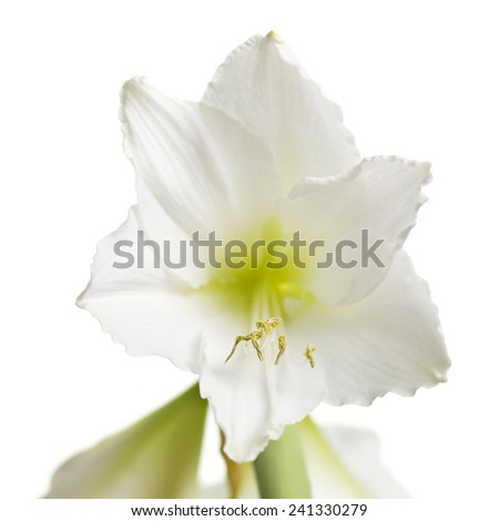 Beautiful white amaryllis flower bloom isolated on white background. - stock photo