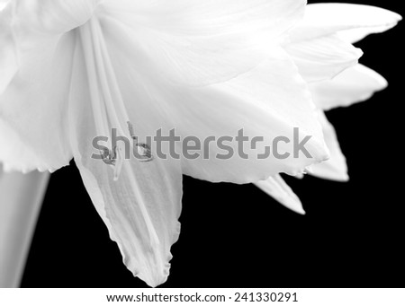 Beautiful white amaryllis flower bloom on black background. - stock photo