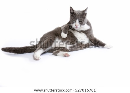 Beautiful white and grey cat at white background