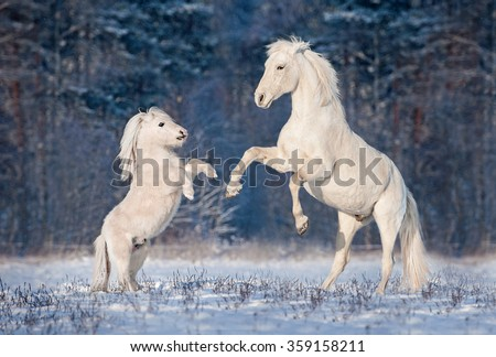 Beautiful white andalusian stallion playing with little shetland pony in winter - stock photo