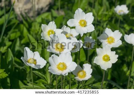 Beautiful white anemones flowers, Anemone nemorosa, in a nature garden - stock photo