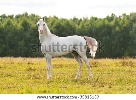 beautiful white arab stallion - stock photo