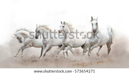 beautiful white arabian horses running over a white background